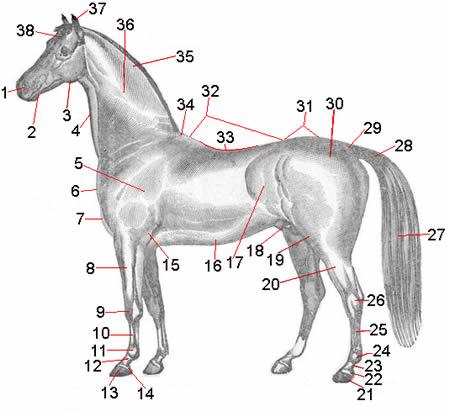 Pferdekörper - Koerperteile des Pferdes