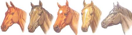 Stirnhaare, Flocke, Stern, Pferdeabzeichen, Pferdekopf