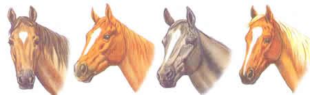 Stern Blesse Pferdekopf Pferdeabzeichen