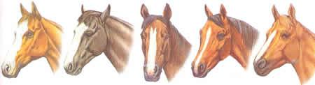 Rechtsseitige Blesse durchgehende Blesse Nüstern Pferdeabzeichen Pferdekopf