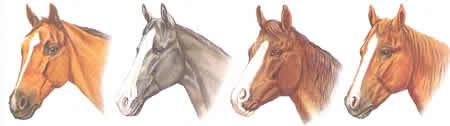 Durchgehende Blesse Schnippe Stern mit Nasenstreifen Pferdekopf Pferdeabzeichen