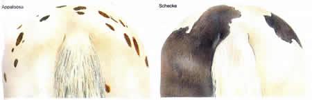 Pferdefarbe Appaloosa Schecke Haarfarbe Pferde