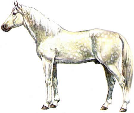 Pferderassen Tersker Warmblüter Russische Pferdezucht