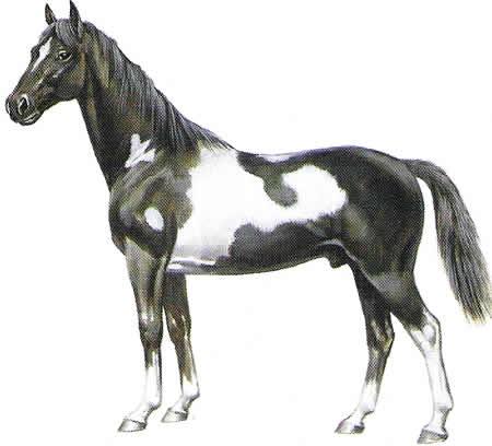 Pferderassen Pinto Amerikanische Pferdezucht Warmblüter