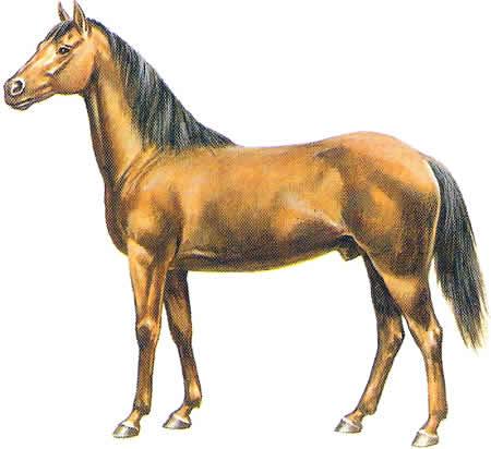 Pferderassen Quarter Horse Warmblüter Vollblüter Amerikanische Pferdezucht