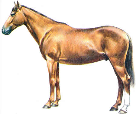 Pferderassen Sardischer Angloaraber Italienische Pferdezucht Warmblüter Vollblüter