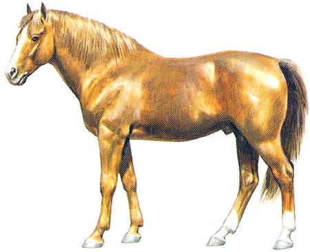 Morgan Pferderasse Amerikanische Pferdezucht Warmblüter