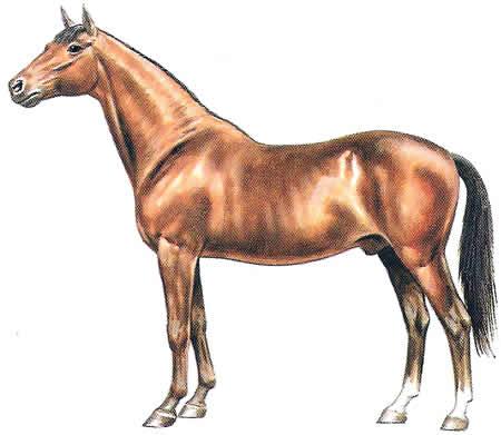 Pferderassen Holsteiner Warmblüter Deutsche Pferdezucht