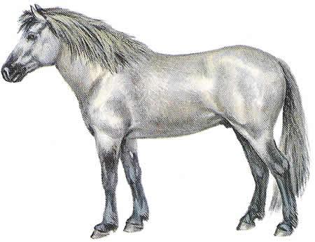 Pferderassen Islandpony Islandpferd Isländer Warmblüter Isländische Pferdezucht