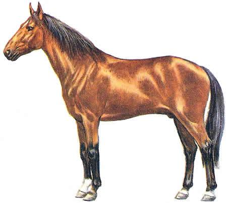 Pferderassen Kabardiner Warmblüter Russische Pferdezucht