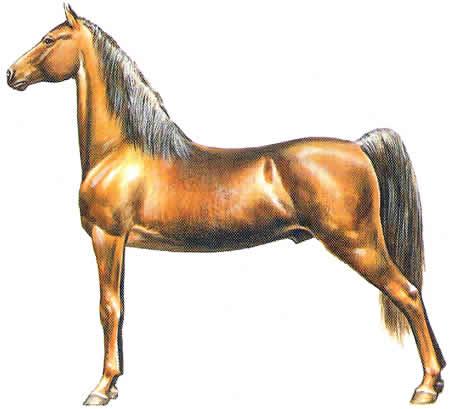 Pferderassen American Saddle Horse Amerikanische Pferdezucht American Saddlebred Warmblüter
