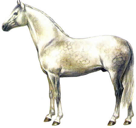 Pferderassen Andalusier Spanische Pferdezucht Warmblüter Iberische Pferdezucht