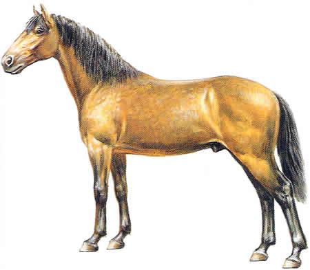 Pferderassen Anglo-Araber Französische Pferdezucht Vollblüter