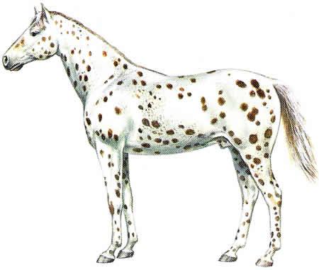 Pferderassen Appaloosa Amerikanische Pferdezucht Warmblüter