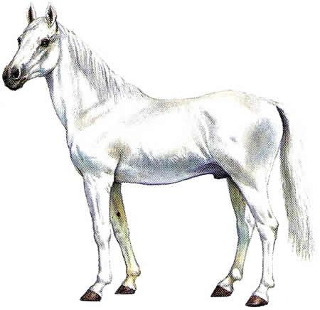 Pferderassen Araber Arabische Pferdezucht Vollblüter