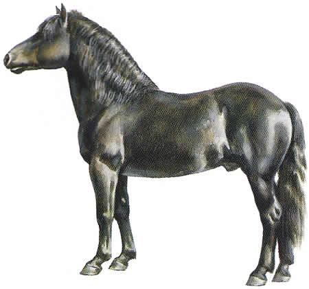 Pferderassen Ponyrassen Bardigiano Italienische Pferdezucht