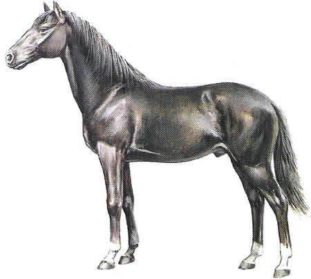 Pferderassen Berber Vollblut Nordafrikanische Pferdezucht