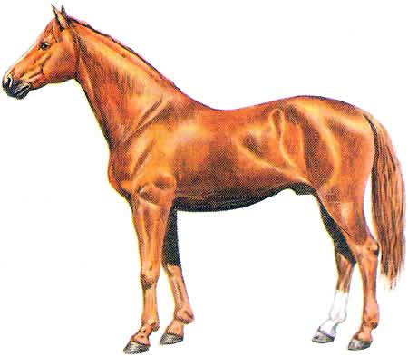 Pferderassen Budjonny Warmblüter Russische Pferdezucht