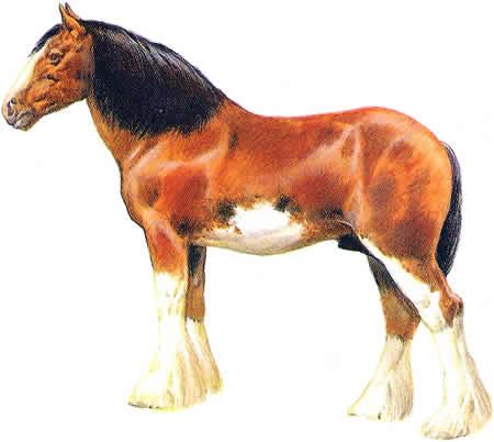 Pferderassen Clydesdale Schottische Pferdezucht Amerikanische Pferdezucht Kaltblüter