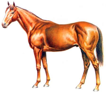 Pferderassen Englisches Vollblut Englische Pferdezucht Vollblüter