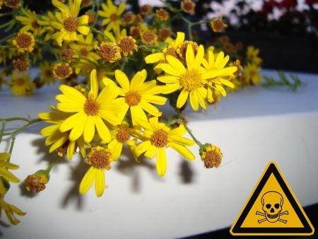 Pferde Giftpflanzen Jakobskreuzkraut Pferdeweide Pyrrolizidinalkaloide PA Lebergifte Giftstoffe Greiskraut Kreuzkraut Hufrehe Tödliche Giftpflanze