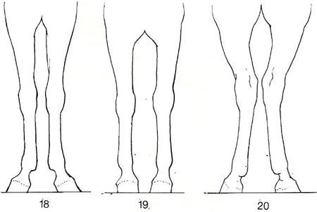 Fehlstellungen der Pferdebeine Vorne X-Beinig Vorne O-Beinig Hinten zehenweit